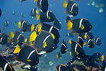 Islote Enderby, Floreana Island, Galapagos, Ecuador; a school of King Angelfish (Holacanthus passer) swim above the rocky reef , Copyright © Matthew Meier, matthewmeierphoto.com All Rights Reserved