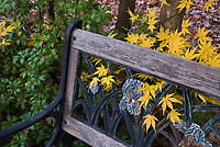 Japanese maple Acer palmatum in golden yellow fall foliage color with garden bench, wrought iron and wood, with bearded iris ornamentation
