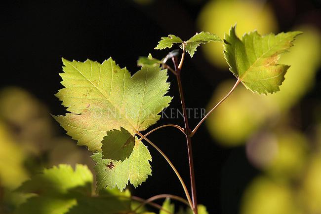 Sun light on mountain maple leaves
