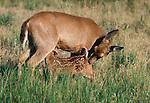 Black-tailed or mule deer fawn nursing, Washington, USA
