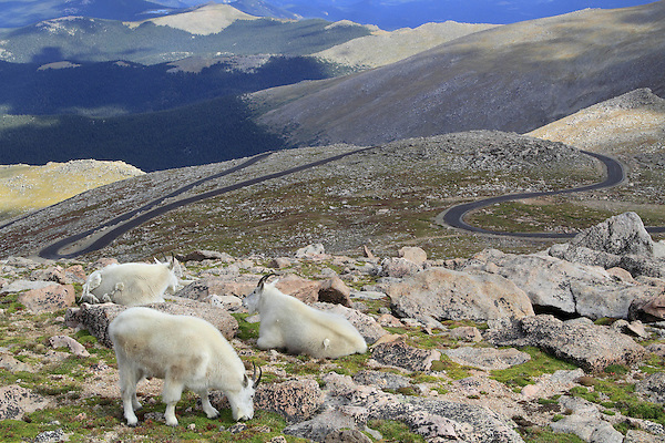 Mountain Goats graze next to the Mount Evans road, west of Denver.<br />