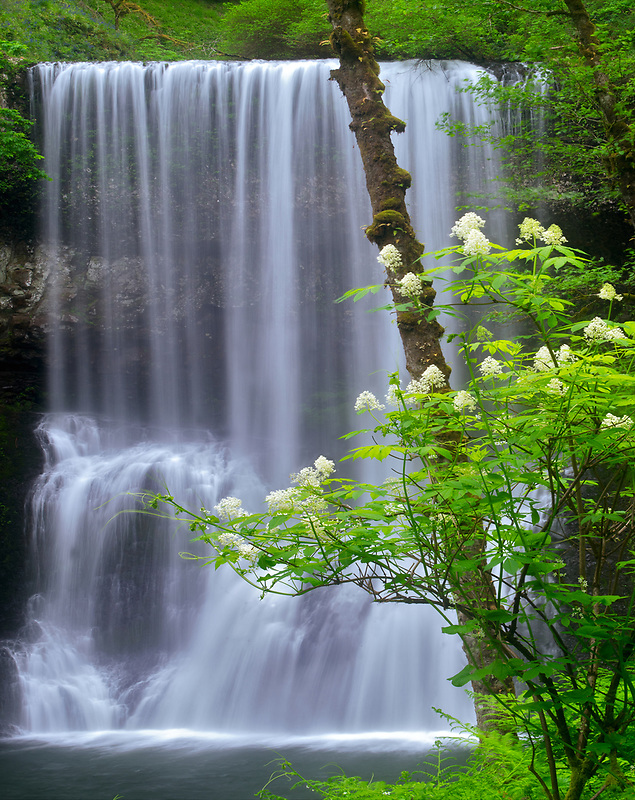 Blooming Elderberry bush and Lower South Falls. Silver Falls State Park, Oregon