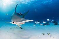 great hammerhead, Sphyrna mokarran, endangered species, and nurse shark, Ginglymostoma cirratum, South Bimini, Bimini, The Bahamas, Atlantic Ocean