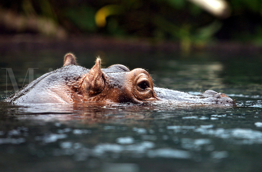 Hippopotamuses, Hippopotamus amphibius, are the largest nonruminating, even-toed, hoofed mammals. They formerly occupied lakes and rivers throughout sub-Saharan Africa in historic times, but are now restricted to parts of eastern and southeastern Africa, from the upper course of the Nile River in The Sudan southward to South Africa.