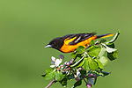 Male Baltimore oriole perched in a flowering apple tree.