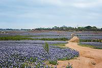 Bluebonnets, Shaw Island, Texas