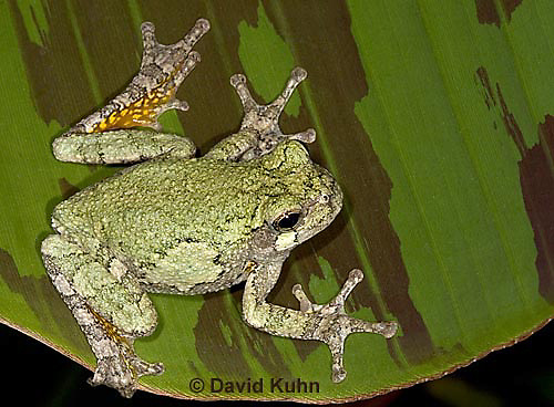 "0917-07mm  Gray Tree Frog - Hyla versicolor ""Virginia"" © David Kuhn/Dwight Kuhn Photography"