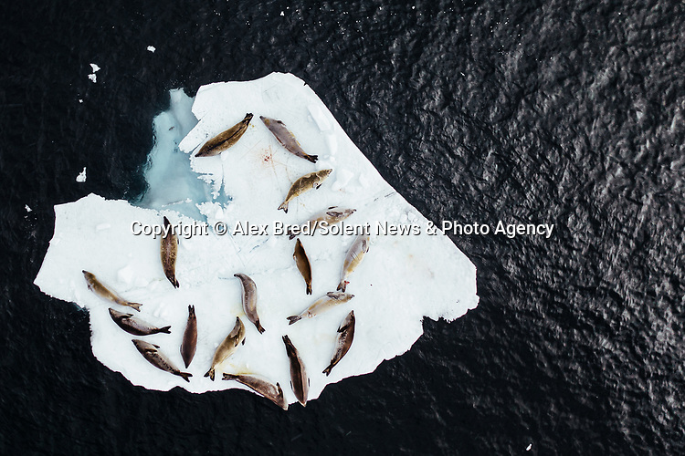 A group of seals 'chill' as they lie on a small heart-shaped iceberg.  The animals, lying closely together to fit onto the floating sheet of ice, are resting after hunting for prey, some bearing scars from their pursuits.<br /> <br /> Photographer Alex Bred pictured the relaxing seals in the Antarctic Peninsula.  SEE OUR COPY FOR DETAILS.<br /> <br /> Please byline: Alex Bred/Solent News<br /> <br /> © Alex Bred/Solent News & Photo Agency<br /> UK +44 (0) 2380 458800