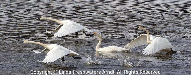 Trumpeter swans taking flight in northern Wisconsin.