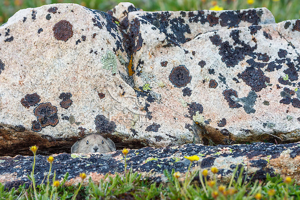 Young American pika (Ochotona princeps) peeking out from the safety of a crack between boulders.  Beartooth Mountains, Wyoming/Montana border.  Summer.  This photo was taken in alpine setting at around 11,000 feet (3350 meters) elevation.