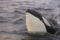 Killer whale, Orcinus orca,  lunging closeup. Tysfjord, Arctic Norway