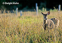 MA22-058z  White-tailed Deer - Odocoileus virginianus