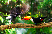 Exotic tucano-toco toucan bird observing a blurred, fast-moving toucan landing on the same branch, Iguazu Falls in Iguacu National Park, Iguazu Brazil