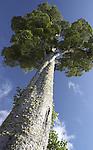 tall Kahikatea tree, westland, new zealand