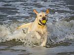 Golden retriever in surf retrieving tennis ball.