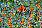 """Workers sit amongst a sea of tropical pineapples as they sell them from their stall on the side of a busy road in Bogra, Bangladesh. <br /> <br /> The pictures were taken by photographer Abdul Momin. <br /> <br /> Mr Momin said """"The workers bring hundreds of pineapples to sell each day on their tricycles. There were over 800 pineapples, which each sell for around thirty-five pence. """" <br /> <br /> """"The workers sell them from the early morning until the early evening."""" <br /> <br /> Please byline: Abdul Momin/Solent News<br /> <br /> © Abdul Momin/Solent News & Photo Agency<br /> UK +44 (0) 2380 458800"""