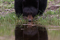 This black bear (Ursus americanus)came to drink in Rainy Lake, Yellowstone on a late spring day.