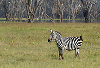Grant's Zebra, Equus quagga boehmi, at the shore of Lake Nakuru in Lake Nakuru National Park, Kenya