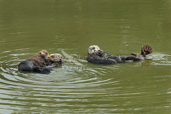 Sea Otter (Enhydra lutris) moms with pups.  Pup on right is three to four months old, while the one on the left is under one month.