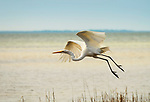 Great Egret taking off from the marsh