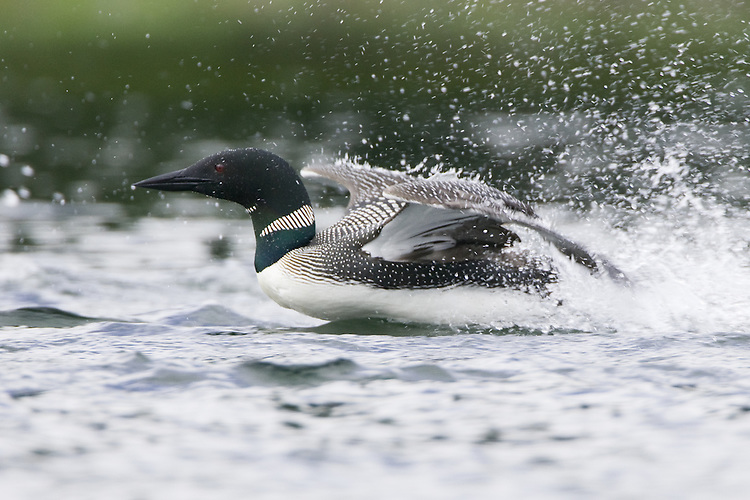 Common Loon gaving chase to a competitor
