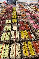 Hollande, Aalsmeer, le marché aux fleurs aux enchères, le Bloemenveiling Aalsmeer en néerlandais,  le plus grand marché mondiale de la fleur coupée, le hall principal où transit les chariots de fleurs avant et après la vente // Holland, Aalsmeer, Aalsmeer flower auction, the Dutch Bloemenveiling Aalsmeer, the world's largest market of cut flowers, the main hall where the transit trolleys of flowers before and after the sale.