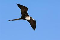 Adult female Magnificent Frigatebird (Fregata magnificens) in flight. Dry Tortugas NP, Florida. March.