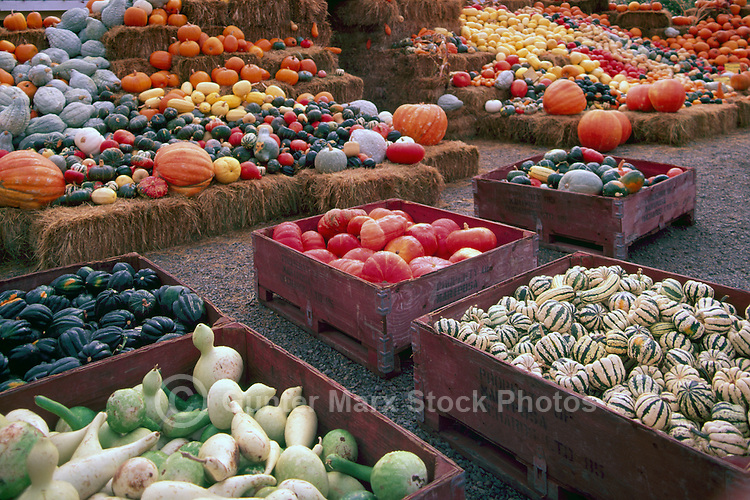 Fresh Squash and Pumpkin Harvest Display at Farmer's Market, Keremeos, BC, Similkameen Valley, British Columbia, Canada