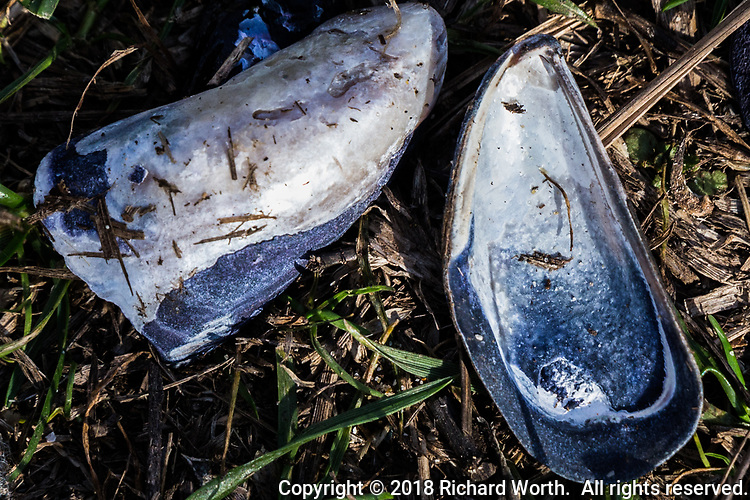 The two halves of a blue and ivory colored mussel shell on the path well away from rocky coast, likely the remains of a seabird's lunch.  The shell on the left exhibits gouges that might have been caused by a hungry bird's bill working to crack it open. .