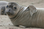 Elephant seal weaners by Frank Balthis