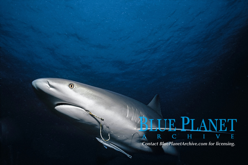 Fish hooked lodged in mouth of Caribbean Reef Shark (Carcharhinus perezii) with symbiotic Remora attached, Bahamas - Caribbean Sea.