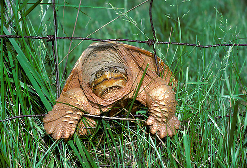 Snapping turtle, Chelydra serpentina, tries to crawl through wire fence in grass -An Ancient face, Midwest USA