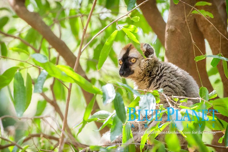 Ring-tailed lemur (Lemur catta) sitting in tree, Berenty Private Reserve, Madagascar, Africa