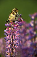Savannah Sparrow on Lupine (Passerculus sandwichensis).  Kenai Peninsula, Seward, Alaska.