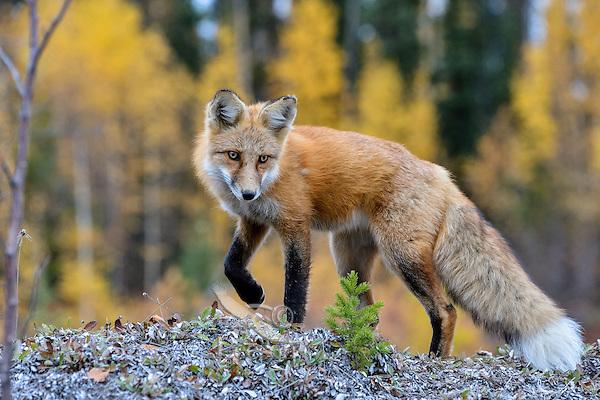 Red Fox (Vulpes vulpes) along the Liard River near the Yukon/British Columbia border.  Sept.