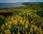 Yellow Tree Lupines, Tomales Point, Point Reyes National Seashore, Burton Wilderness, Marin County, California