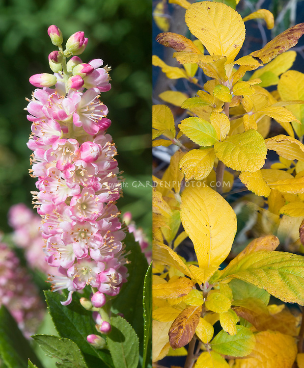 Clethra alnifolia in two phases, 'Ruby Spice' in flower and fall foliage color