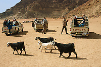 Jordan. Wadi Rum. The Wadi Rum is a large, beautiful and deserted area. Goats pass by four-wheel drive pick-up vehicles loaded with groups of western tourists.  © 2002 Didier Ruef