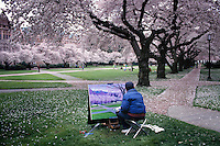 Artist Paints Spring Scenic Under Canopy Of Blossoming Cherry Trees On University Of Washington Campus; Seattle, Washingto