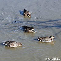 0717-0806  Group of Female Green-winged Teals, Anas carolinensis © David Kuhn/Dwight Kuhn Photography