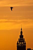Europe/France/Bretagne/29/Finistère/Roscoff: Mouette et soleil couchant sur le clocher de l 'église Notre-Dame de Croas-Batz