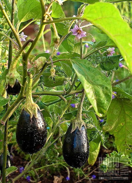 Two eggplants growing in a community garden