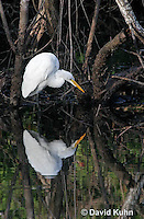 0111-0937  Great Egret Wading in Water Hunting for Prey, Ardea alba  © David Kuhn/Dwight Kuhn Photography.