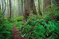 Swordfern and western redcedar trees line Ericsons Bay Trail, Ozette, Olympic National Park, Washington, USA