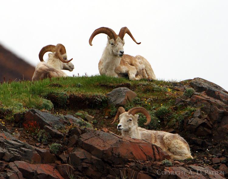 Dall sheep rams resting