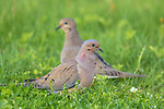 Mourning doves in northern Wisconsin.