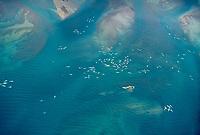 beluga whales or white whales, Delphinapterus leucas, Cunnigham Inlet, Somerset Island, Nunavut, Canada, Arctic Ocean