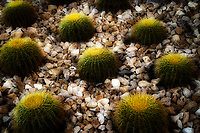 Barrel cactus with landscape rocks. Palm Springs, California