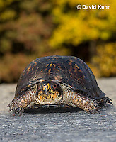1003-0802  Male Eastern Box Turtle on Road in Autumn - Terrapene carolina © David Kuhn/Dwight Kuhn Photography.