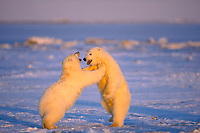 polar bear, Ursus maritimus, cubs play fighting, Arctic National Wildlife Refuge, North Slope of Alaska, polar bear, Ursus maritimus